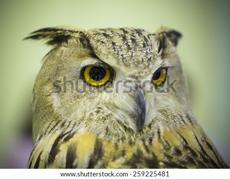 Great Horned Owl staring with golden eyes - stock photo