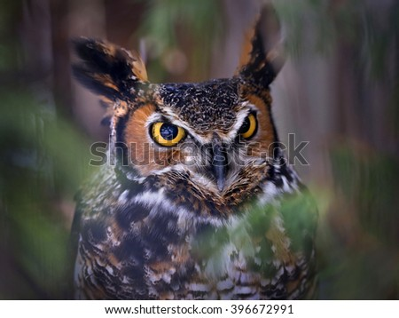 Great Horned Owl staring with golden eyes in dark - stock photo