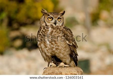 Great horned owl - Virginia owl - stock photo