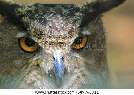 Great Horned Owl - Wildlife Background - Focus of Intensity