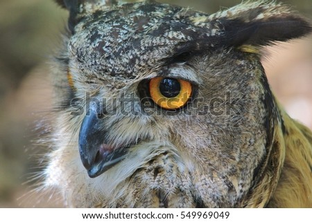 Great Horned Owl - Wildlife Background - Intense Focus and Eyesight