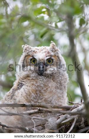 Great Horned Owlet in nest - stock photo