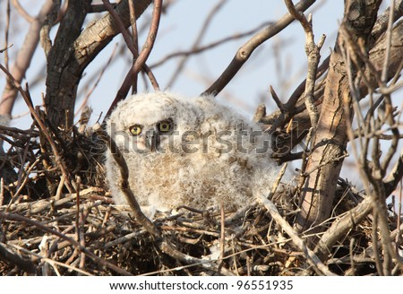 Great Horned Owlet in nest in spring - stock photo