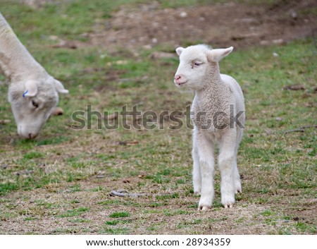 great image of a young lamb on the farm