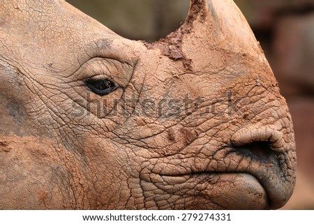 Great Indian Rhinoceros (Rhinoceros unicornis) - stock photo