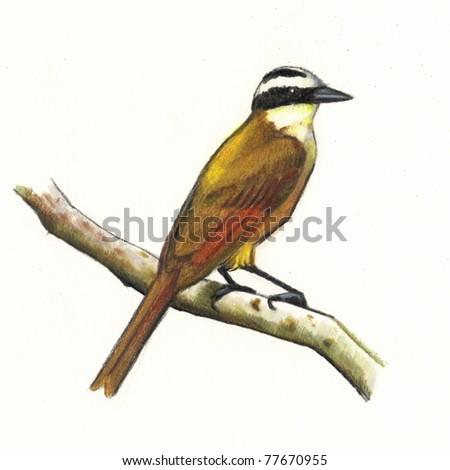 Great Kiskadee (Bird) in Color Pencil - stock photo