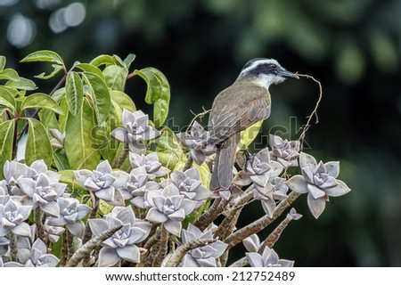 Great Kiskadee on branch lovely detail photo - Pitangus sulphuratus  building its nest
