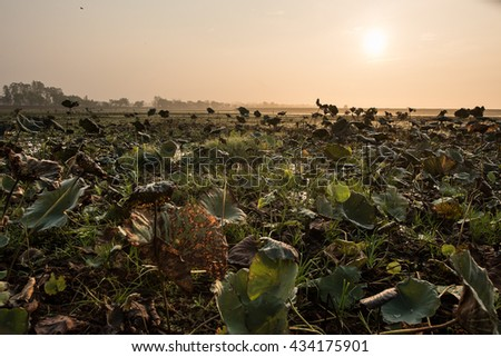 Great lotus with wilderness atmosphere at sunset, wetland in Thailand