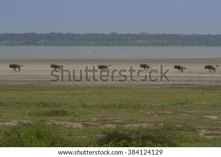 Great Migration of Wildebeest in the Serengeti National Park - stock photo