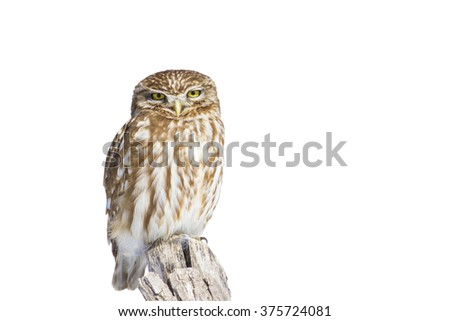 Great Owl isolated owl on white background Little Owl / Athene noctua - stock photo