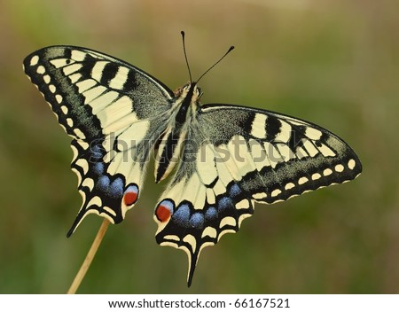 Great Papilio machaon siriacus butterfly with the wings wide open and a nice sunshine on it