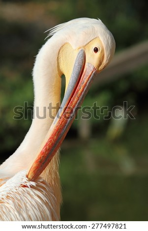 great pelican ( Pelecanus onocrotalus ) taking care of its feathers - stock photo