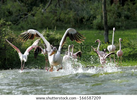 Great Pelicans taking flight with splash of water - stock photo