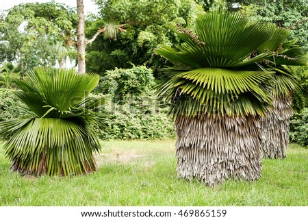 great Petticoat Palms growing in tropical Cuba