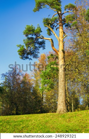 great pine tree in autumn forest at sunny day - stock photo