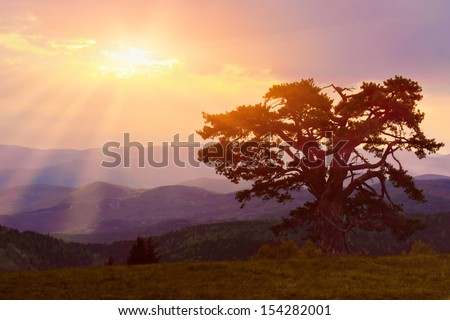 Great pine tree on early morning - stock photo