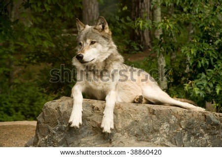 great plains wolf attentively watching while laying on rock in sun - stock photo