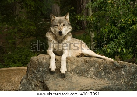 great plains wolf looking directly into the camera while laying on a large flat rock - stock photo
