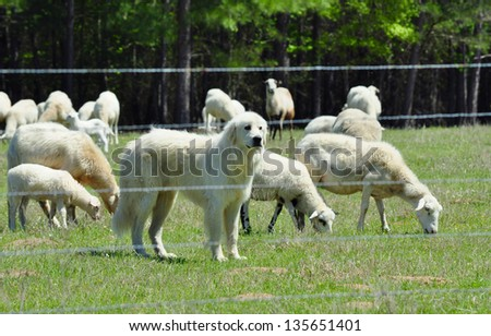 Great Pyrenees Guards her Flock - stock photo