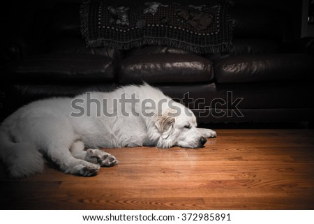 Great Pyrenees laying by the couch, moody - stock photo