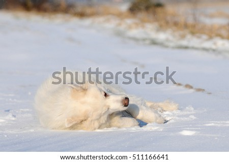 great pyrenees lying in the snow