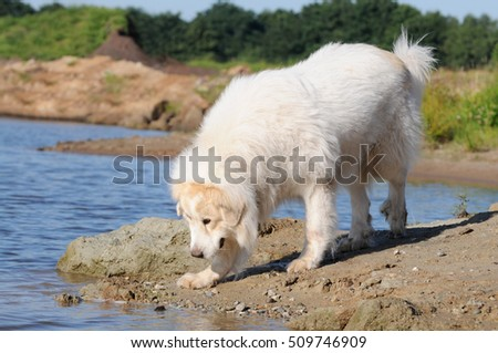 great pyrenees running in the nature