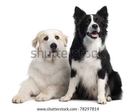 Great Pyrenees, 6 years old, and Border Collie, 2 years old, in front of white background - stock photo