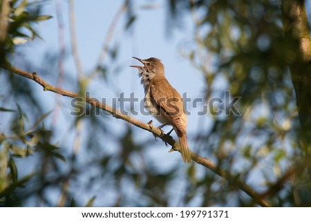 great reed-warbler - stock photo