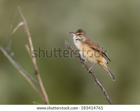 great reed warbler, [Acrocephalus arundinaceus] - stock photo