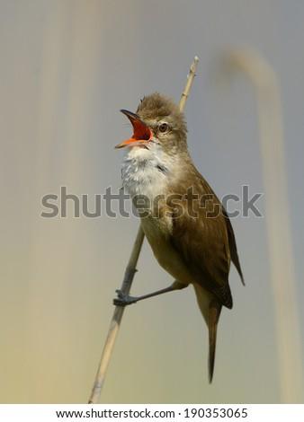 great reed warbler [Acrocephalus arundinaceus] - stock photo