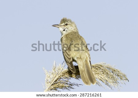 great reed warbler ( Acrocephalus arundinaceus ) in a natural habitat - stock photo