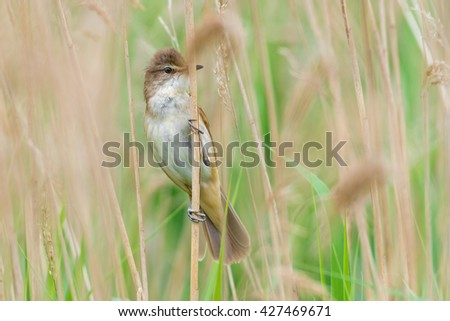 Great reed warbler (Acrocephalus arundinaceus) in the reed of the pond