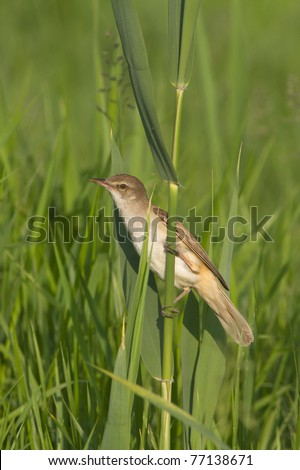 Great Reed Warbler on the reed / Acrocephalus arundinaceus - stock photo