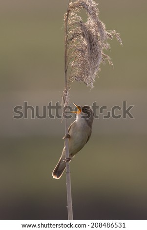 Great reed warbler singing in the reeds. - stock photo