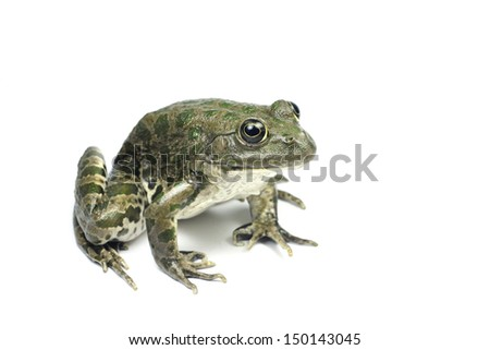 great spotted frog on white background