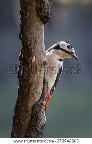 Great spotted woodpecker close-up portrait in Spring woodland - stock photo