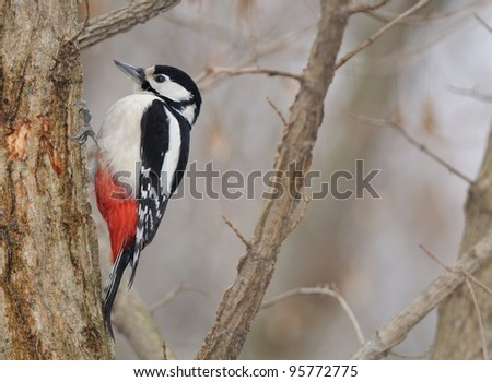 Great Spotted Woodpecker (Dendrocopos major) and suggestive winter atmosphere - stock photo
