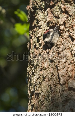 Great Spotted Woodpecker (Dendrocopos major) - Baarn, The Netherlands - stock photo