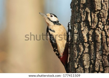 Great Spotted Woodpecker (Dendrocopos major) on a tree trunk. - stock photo