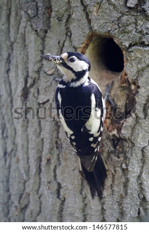 Great-spotted woodpecker, Dendrocopos major, single female at nest entrance, Warwickshire, May 2012