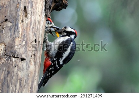 Great Spotted Woodpecker feeds the chick in the nest hollow - stock photo
