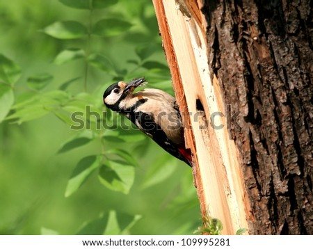 Great Spotted Woodpecker, near hole in a tree - stock photo