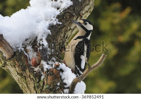 Great spotted woodpecker on a tree in winter - stock photo