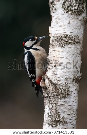 Great spotted Woodpecker perched on a birch branch  - stock photo