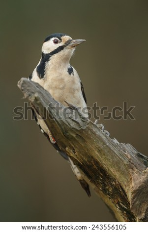 Great spotted woodpecker perched on dead wood - stock photo