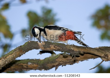 Great-spotted woodpecker perching on a branch of the tree. - stock photo