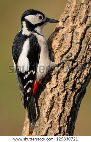 Great spotted woodpecker searching for food on a tree - stock photo