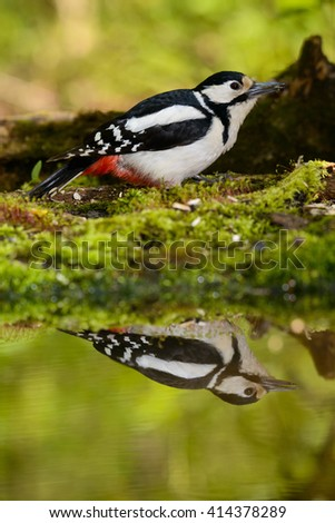 Great spotted Woodpecker taking a nice cool bath in the spring