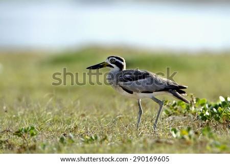 Great thick-knee bird in Arugam bay lagoon, Sri Lanka ; specie Esacus recurvirostris   - stock photo