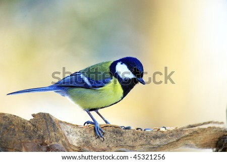 great tit - stock photo